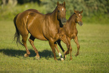 Quarter Horse Mare and Colt Running Photographic Print by  DLILLC