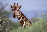 Giraffe Peeking over Foliage Photographic Print by  DLILLC