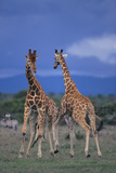 Two Playful Giraffes Photographic Print by  DLILLC