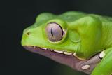 Monkey Tree Frog Photographic Print by  DLILLC