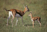 Thomson's Gazelle and Young Photographic Print by  DLILLC