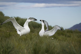 Wandering Albatross Performing Courtship Display Photographic Print by  DLILLC