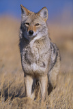 Coyote Reproduction photographique par  DLILLC