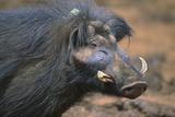 Giant Forest Wart Hog Fotografisk tryk af  DLILLC