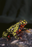 Fire-Bellied Toad Photographic Print by  DLILLC