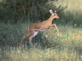 Young Impala Photographic Print by  DLILLC