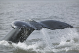 Powerful Tail of a Humpback Whale Photographic Print by  DLILLC