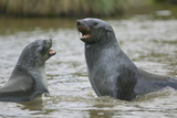 Antarctic Fur Seals Playing in Shallow Water Photographic Print by  DLILLC