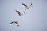 Sandhill Cranes in Flight Reproduction photographique par  DLILLC