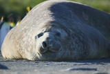 Southern Elephant Seal Relaxing in the Sand Photographic Print by  DLILLC