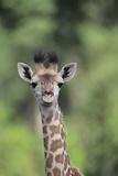 Giraffe Photographic Print by  DLILLC