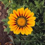 Orange Gazania Flower Photographic Print by  DLILLC