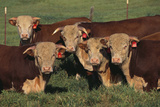 Hereford Bulls Photographic Print by  DLILLC