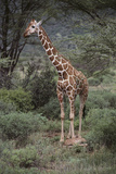 Giraffe Standing in the Trees Photographic Print by  DLILLC