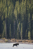 Moose Crossing River Photographic Print by  DLILLC