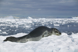 Leopard Seal Lounging on an Iceberg Photographic Print by  DLILLC