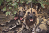 Wild Dogs Photographic Print by  DLILLC