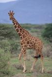 Giraffe Walking on the Savanna Photographic Print by  DLILLC