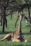 Giraffe Resting in the Grass Photographic Print by  DLILLC
