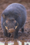 Giant Forest Wart Hog at Salt Lick Photographic Print by  DLILLC