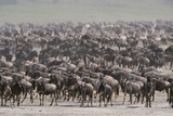 Wildebeest Photographic Print by  DLILLC