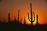 Sun Setting behind Cacti Photographic Print by  DLILLC