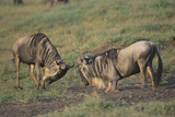 Blue Wildebeests Fighting Photographic Print by  DLILLC