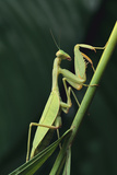 African Praying Mantis on Stalk Photographic Print by  DLILLC