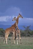 Giraffe Couple Fotografisk tryk af  DLILLC