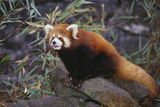Red Panda on Rock Photographic Print by  DLILLC