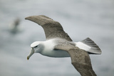White-Capped, or Shy Albatross, in Flight Photographic Print by  DLILLC