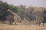 Giraffes Walking through the Grass Photographic Print by  DLILLC
