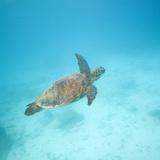 Green Sea Turtle Fotoprint van  DLILLC