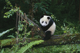 Giant Panda in the Forest Photographic Print by  DLILLC