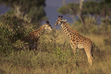 Young Giraffe Feeding in the Bush Photographic Print by  DLILLC