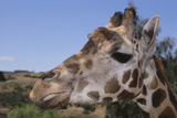 Curious Giraffe Photographic Print by  DLILLC