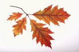 Red Oak Leaf Photographic Print by  DLILLC