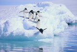 Adelie Penguin Photographic Print by  DLILLC