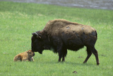 Buffalo and Calf Photographic Print by  DLILLC