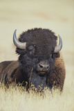 Buffalo Photographic Print by  DLILLC