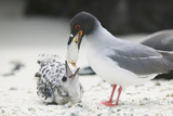 Swallow-Tailed Gull Feeding Chick Squid Reproduction photographique par  DLILLC