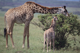 Mother and Baby Giraffe Grazing Together Photographic Print by  DLILLC