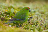 Red-Crowned Parakeet Feeding on the Ground Reproduction photographique par  DLILLC
