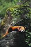 Red Panda Resting on Rock Photographic Print by  DLILLC