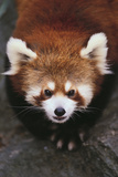 Red Panda Photographic Print by  DLILLC