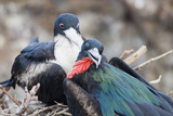 Great Frigatebird Male and Female Pair Photographic Print by  DLILLC