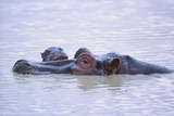 Hippopotamus and Young in the Water Photographic Print by  DLILLC