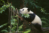 Giant Panda in the Forest Fotografiskt tryck av  DLILLC