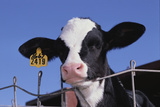 Holstein Calf with Eartag Photographic Print by  DLILLC