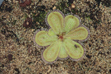 Sundew Plant Photographic Print by  DLILLC